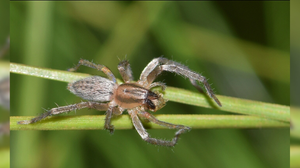 The Most Dangerous Spiders Found In Canada And What You Need To Know Ctv News