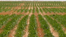 Rows of crops stretch to the horizon as drought continues in the area near Piedmont, Okla., on Monday, July 30, 2012. (AP /Sue Ogrocki)