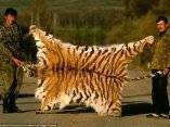 los-cazadores-furtivos-representan-con-orgullo-con-el-escudo-de-un-tigre-siberiano