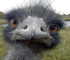 avestruz-de-cuello-azul-ciego-de-avila