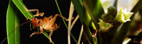 Glomeremus orchidophilus