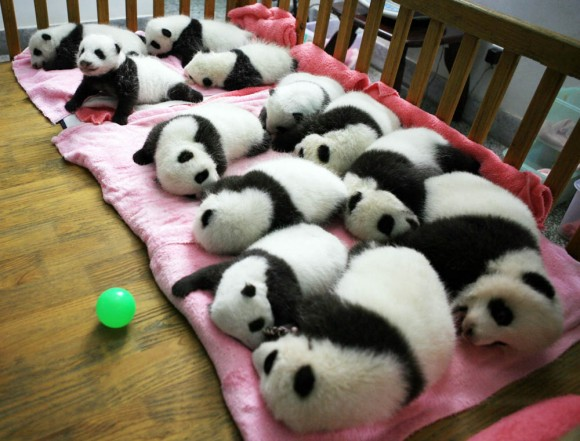 CHINA-ANIMAL-PANDA-CONSERVATION