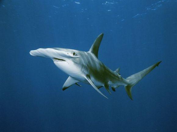 Tiburón Martillo. Foto: Brian J. Skerry