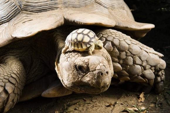 Una tortuga africana de cuatro días de nacida toma el sol en la cabeza de su madre en un parque en Nyiregyhaza, Hungría. Foto: Attila Balazs