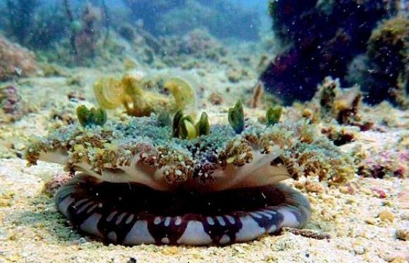 Cassiopea andromeda, se le conoce como la medusa invertida.