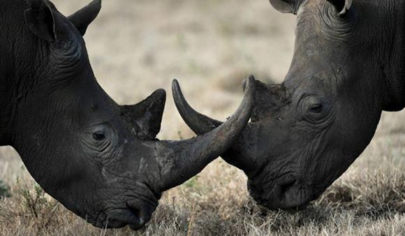 Los rinocerontes negros lucen dos cuernos, de los cuales el primero es más prominente. Los cuernos del rinoceronte crecen hasta ocho centímetros al año, y se sabe que han llegado a alcanzar el metro y medio. Las hembras los usan para proteger a sus crías, mientras que los machos los emplean para atacar a sus rivales. Foto: Getty/Archivo.