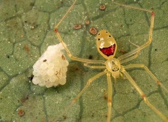 Araña de la cara feliz. Foto talesmaze.com