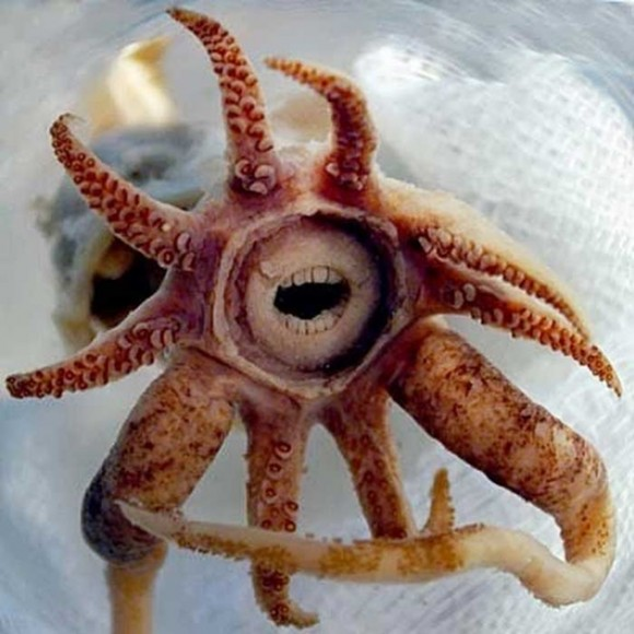 Calamar Bocazas. Foto talesmaze.com