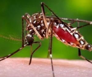 Mosquito Aedes aegyti. Foto: Archivo.