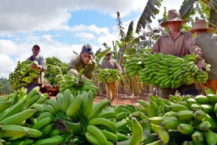 Campesinos avileños en la cosecha de plátano de 2016