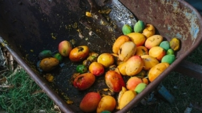 Se pierde cosecha de mangos en Cuba por negligencia y burocratismo