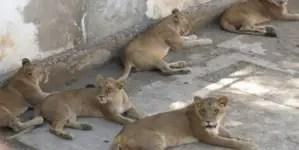 ¿Qué hacer con tantos leones en Puerto Padre?
