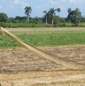 Régimen dice que incumplirá producción de arroz y frijol por culpa de Eta