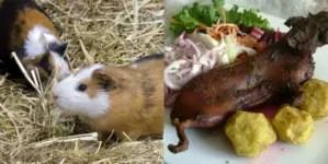 Promueven en Cuba cría de curieles para alimentación familiar