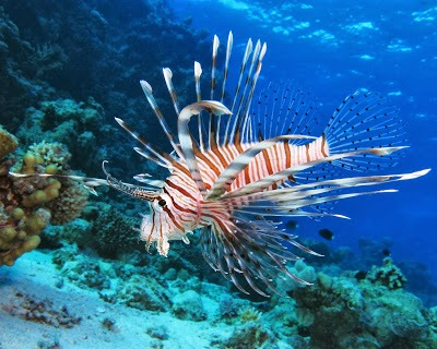 Doing my part – a lionfish recipe.
