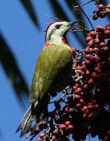 E. Cuban Green Woodpecker