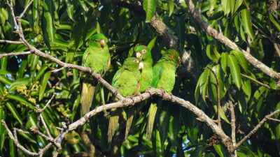 E. Cuban Parakeet