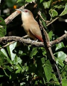 RE. Great Lizard-Cuckoo