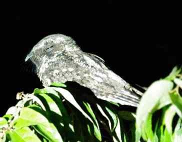 E. Greater Antillian Nightjar