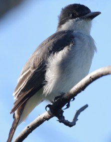RE. Loggerhead Kingbird