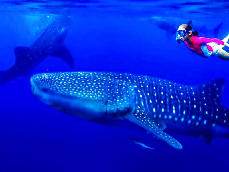 nado con tiburon ballena isla mujeres