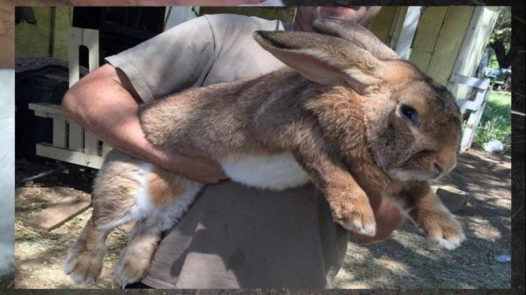 Gigante de Flandes tipo de conejo gigante
