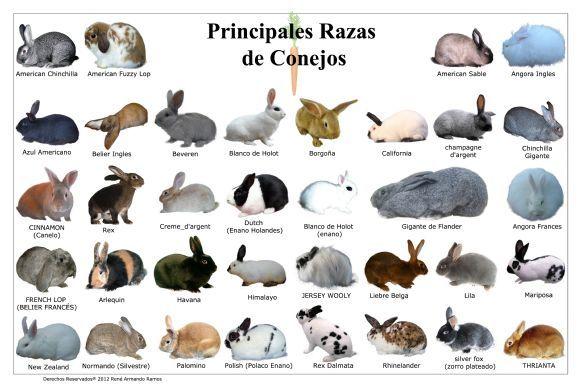 razas y tipos de conejos