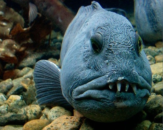 Características del pez Anarhichas lupus