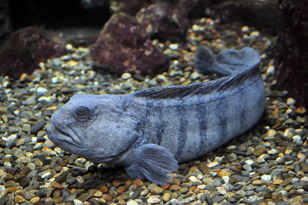 Como se reproduce el pez Anarhichas lupus