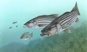 lubina estriada depredador pez aloza