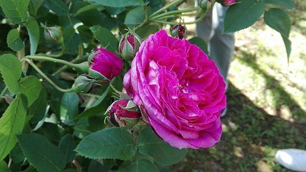 rose02