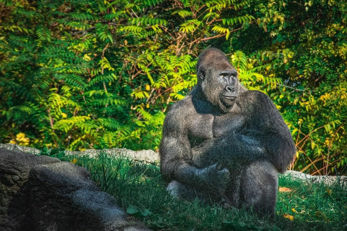 Gorilla Tourism in Rwanda.