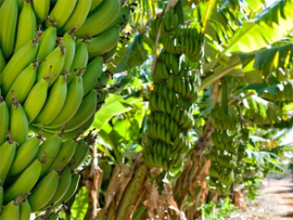 Ecuador is the world's largest producer of bananas.