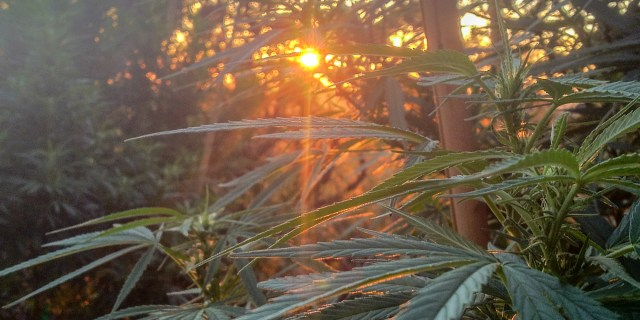 SLO County has begun issuing permits to allow local famers and distributors to grow marijuana.