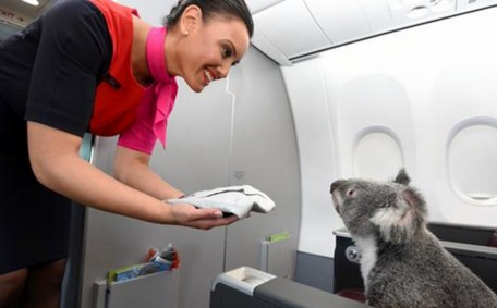 koalas on airplane