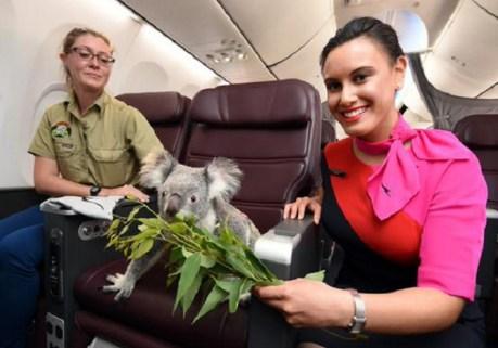 koala with handler