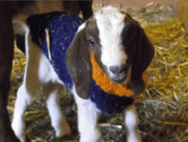 goats in broncos sweaters