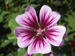 Flor de la malva