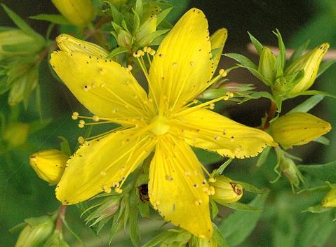 Flor hipérico