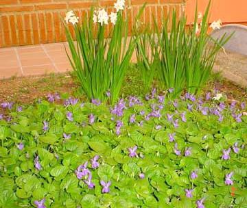 Cultivo de violeta