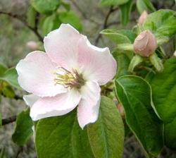 Flor nogal