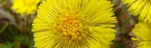 farfara flor