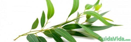 hojas-eucalipto