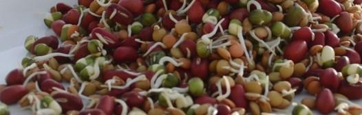 brotes legumbres