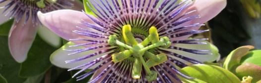 flor maracuya pasionaria parsiflora