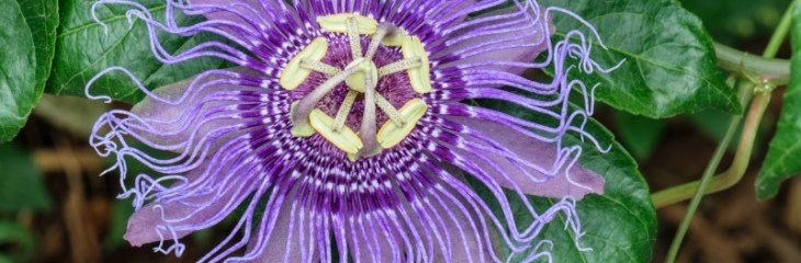 parsiflora-pasion