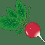 radis - Dossier : Fruits et légumes de saison au mois d'août