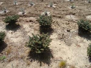 Ilex Aquifolium Alaska, primer plano (4 años) y Ilex Crenata (Globosa) esta recién plantado.