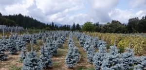 Abies Picea glauca