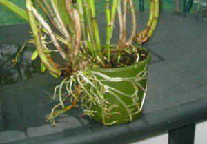 Orquídea precisando de troca de vaso.